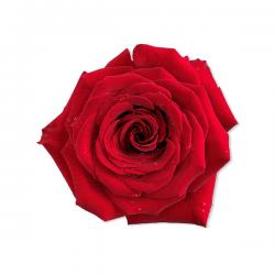 Rosa rossa non trattata