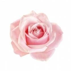 Rosa rosa non trattata